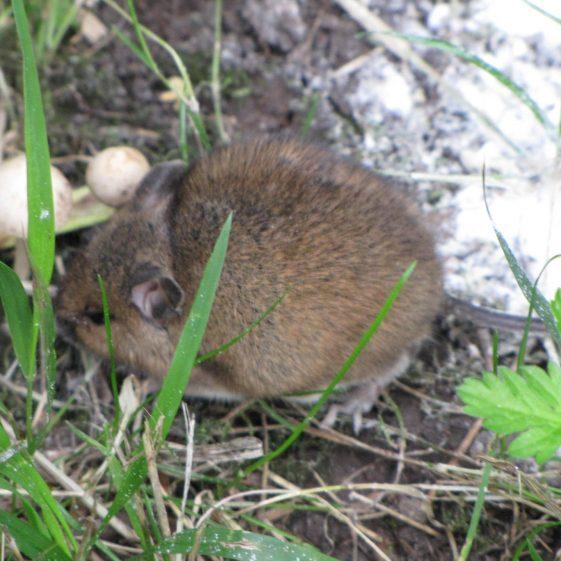 Wood Mouse, Melwood | Jim Reid