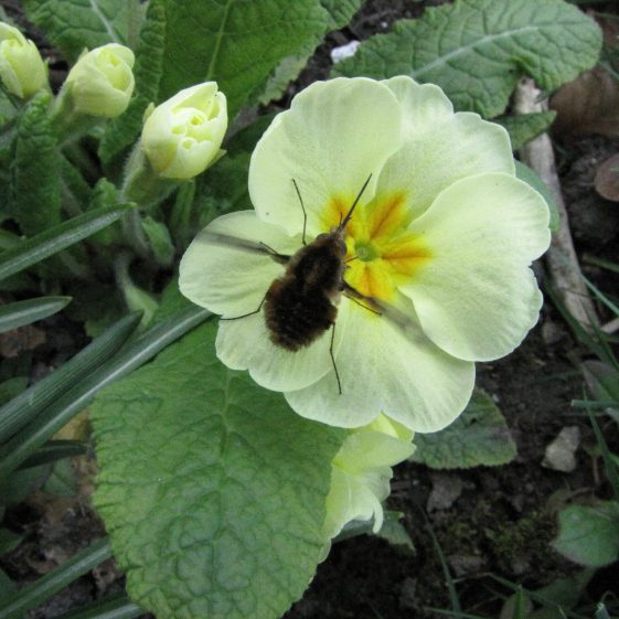 Bee Fly, Melwood | Jim Reid