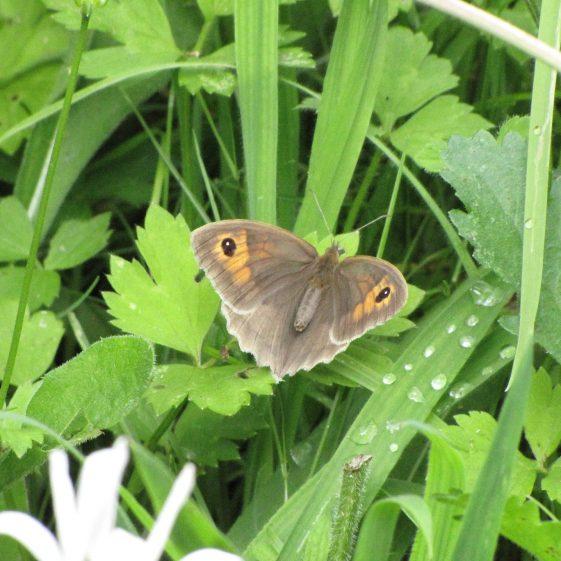 Meadow Brown butterfly, Melwood | Jim Reid