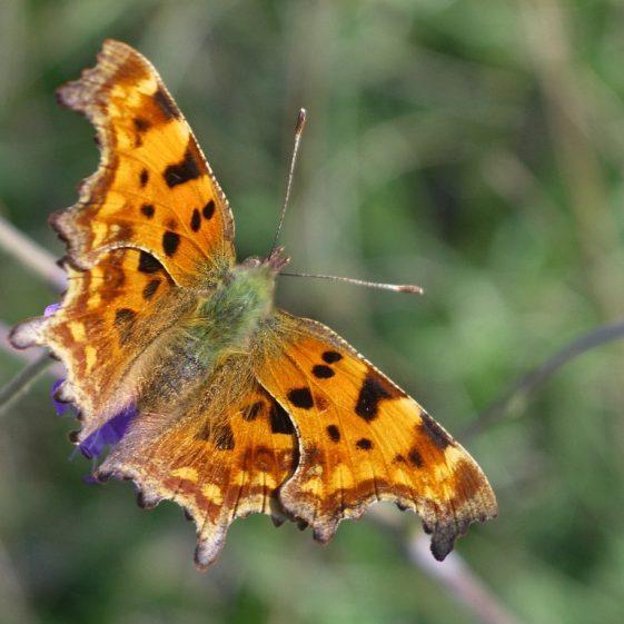Comma butterfly, Melwood | Jim Reid