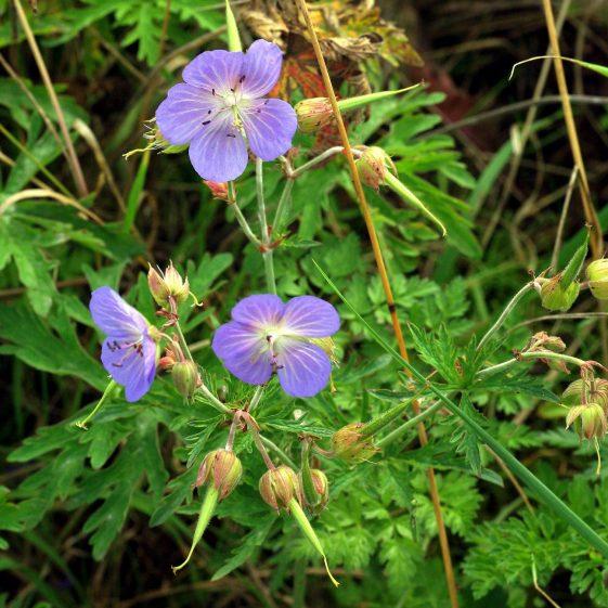 Meadow Geranium, Melwood | Jim Reid