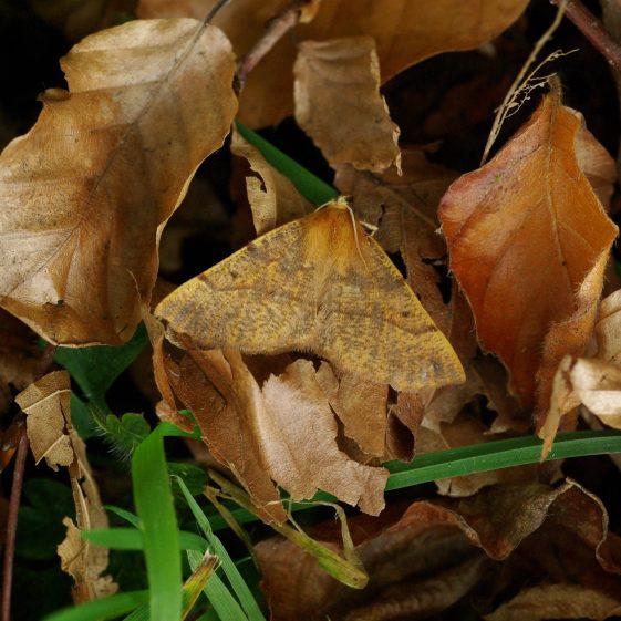 Feathered Thorn moth, Melwood | Jim Reid