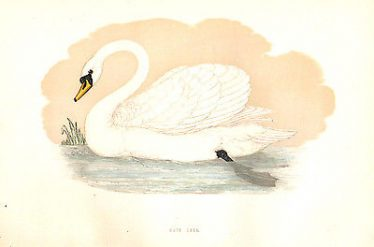Victorian engraved print of Mute Swan by Rev F O Morris, 'A History of British Birds', 1870 | antiquemapsandprints.com