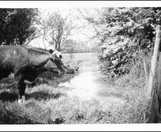 Cows at river | Pictorial Melbourn