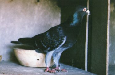 My racing pigeon that flew home from Thurso and Lerwick   No.7816 | Ken Winter
