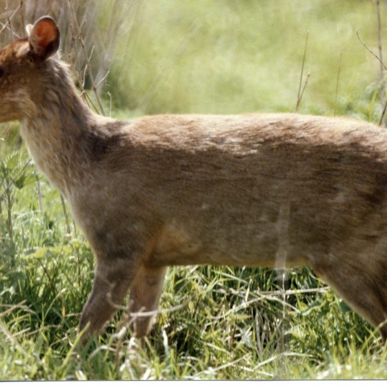 Muntjac Deer, Melwood | Jim Reid