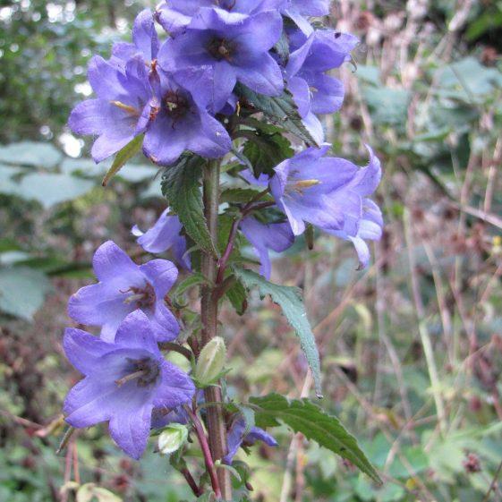 Nettle-leaved Bellflower, Melwood | Jim Reid