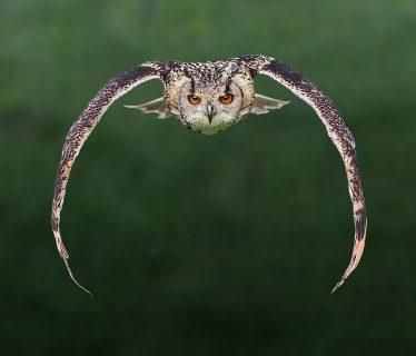 Owl in Flight   Peter North