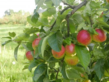Apples growing in a Meldreth orchard | John Crawforth, September 2015