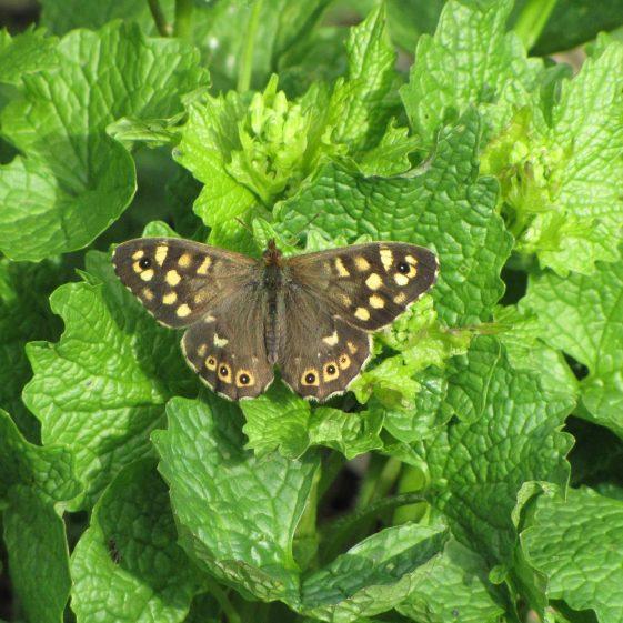 Speckled Wood butterfly, Melwood | Jim Reid