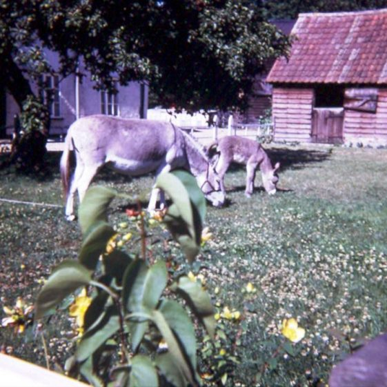 Donkeys Shandy and foal grazing at the British Queen, High Street, Meldreth.  1970 | Photo supplied by Ann Handscombe