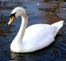 A Mute Swan like the one which the Court found belonged to Mr Flitton | www.brighthub.com