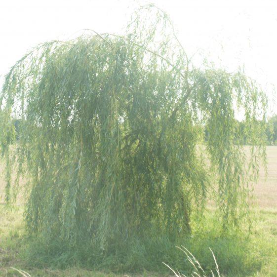 Young willow growing alongside Mel | Bruce Huett 2018